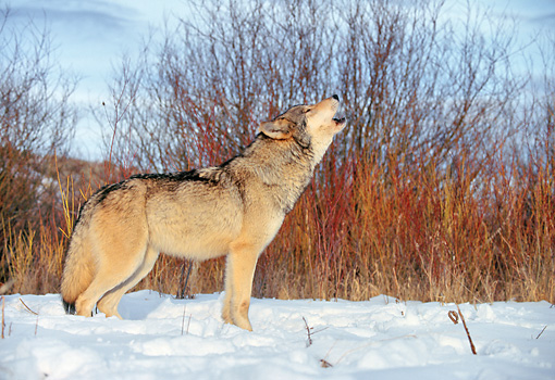WOV 09 RK0160 02 © Kimball Stock Profile Shot Of Gray Wolf Howling On Snow