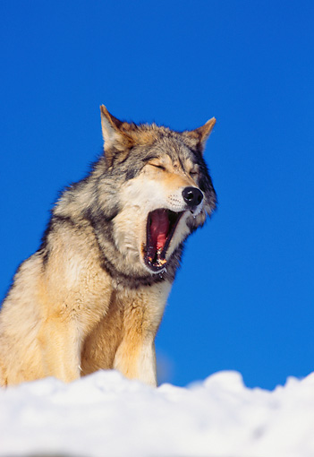 WOV 09 RK0168 02 © Kimball Stock Gray Wolf Sitting On Snow Yawning