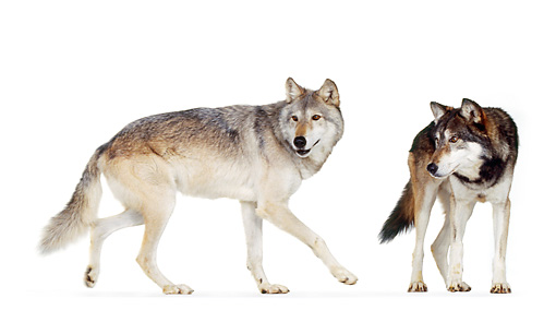 WOV 09 RK0175 04 © Kimball Stock Gray Wolves On White Seamless Background