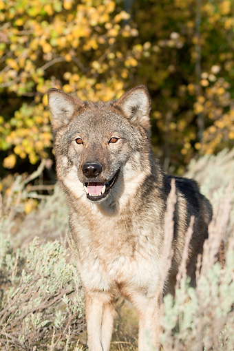 WOV 09 RW0031 01 © Kimball Stock Close-Up Of Gray Wolf Standing In North American Forest