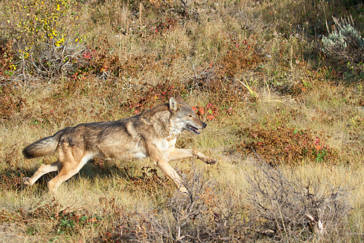 WOV 09 RW0035 01 © Kimball Stock Gray Wolf Running In North American Forest Profile