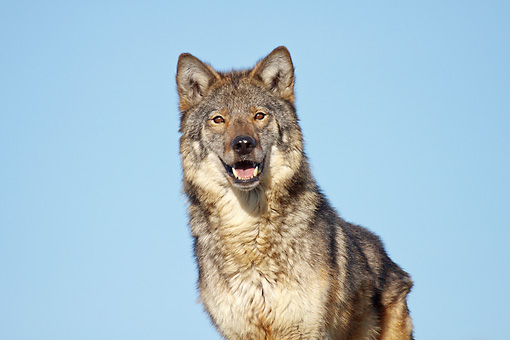 WOV 09 RW0037 01 © Kimball Stock Gray Wolf Standing Against Blue Sky