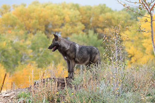 WOV 09 RW0039 01 © Kimball Stock Young Gray Wolf Standing On Dirt Mound In Woods