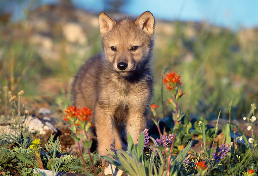 WOV 09 TL0009 01 © Kimball Stock Portrait Of Gray Wolf Pup In Wildflowers