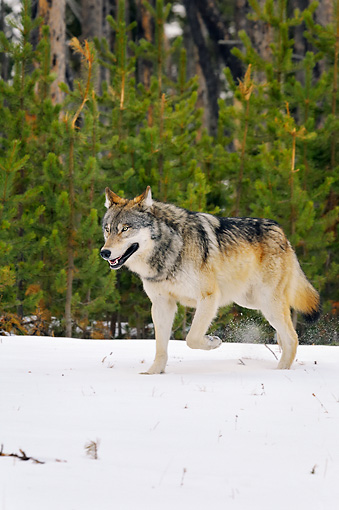 WOV 09 TL0049 01 © Kimball Stock Gray Wolf Walking In Snow Yellowstone National Park