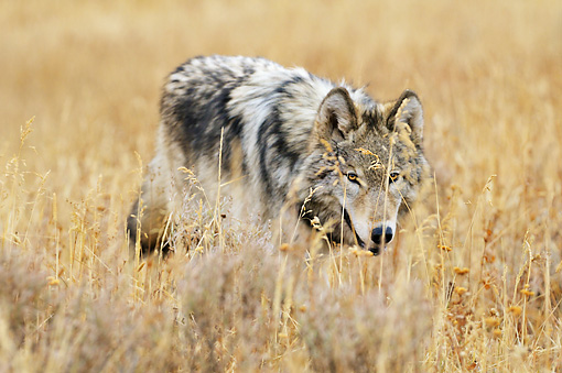 WOV 09 TL0050 01 © Kimball Stock Gray Wolf Walking Through Meadow Yellowstone National Park