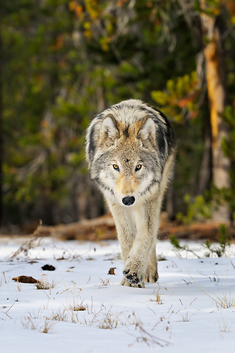 WOV 09 TL0051 01 © Kimball Stock Gray Wolf Walking In Snow Yellowstone National Park