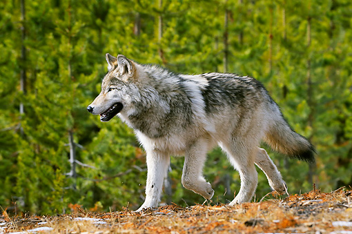 WOV 09 TL0052 01 © Kimball Stock Gray Wolf Walking In Woods Yellowstone National Park