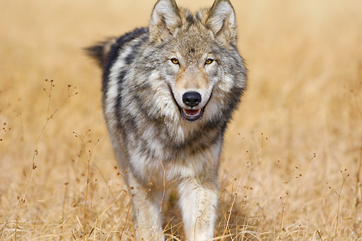 WOV 09 TL0053 01 © Kimball Stock Close-Up Of Gray Wolf Walking In Meadow Yellowstone National Park