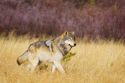 WOV 09 TL0054 01 © Kimball Stock Gray Wolf Walking In Meadow Yellowstone National Park