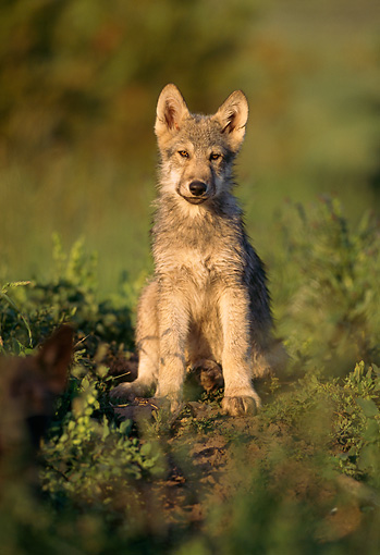 WOV 09 DB0006 01 © Kimball Stock Gray Wolf Pup Sitting In Habitat
