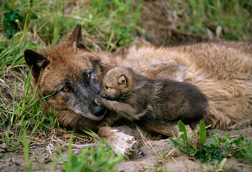 WOV 09 DB0007 01 © Kimball Stock Gray Wolf Adult And Pup Laying Near Den