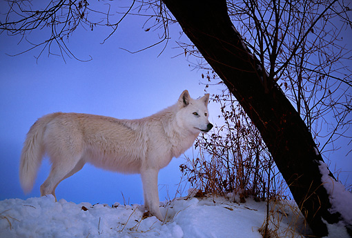 WOV 09 DB0009 01 © Kimball Stock Gray Wolf In Winter Habitat