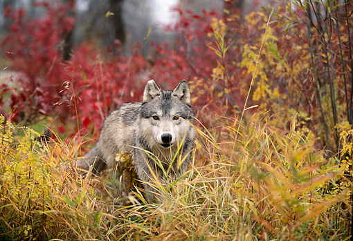 WOV 09 DB0014 01 © Kimball Stock Gray Wolf Standing Facing Camera In Tall Grass In Autumn