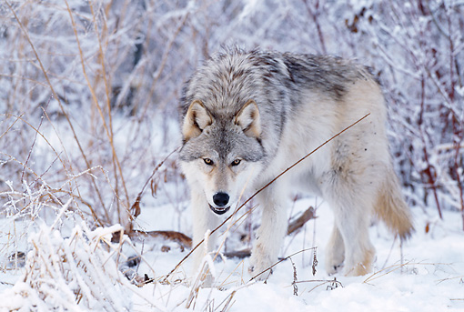 WOV 09 DB0016 01 © Kimball Stock Gray Wolf Walking On Snow In Woods