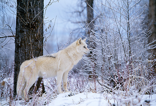 WOV 09 DB0017 01 © Kimball Stock Profile Of Gray Wolf Standing On Snow Beside Tree In Woods