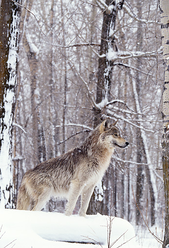 WOV 09 DB0018 01 © Kimball Stock Profile Of Gray Wolf Standing On Snow In Woods