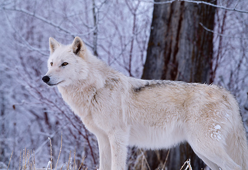 WOV 09 DB0020 01 © Kimball Stock Profile Of Gray Wolf Standing By Tree In Woods In Winter