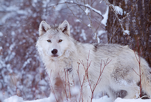 WOV 09 DB0022 01 © Kimball Stock Gray Wolf Standing By Tree On Snow In Woods