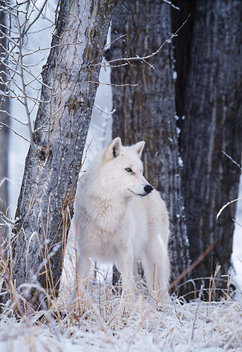 WOV 09 DB0027 01 © Kimball Stock Gray Wolf Standing On Snow In Woods