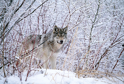 WOV 09 DB0028 01 © Kimball Stock Gray Wolf Standing On Snow In Woods
