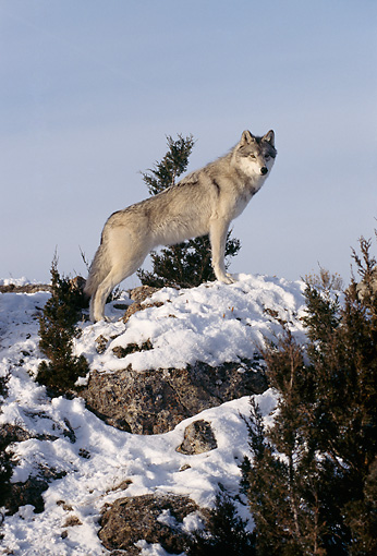 WOV 09 DB0032 01 © Kimball Stock Profile Of Gray Wolf Standing On Snow-Covered Rock By Water