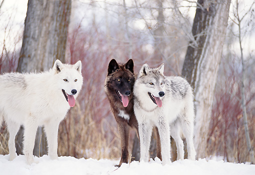 WOV 09 DB0035 01 © Kimball Stock Three Gray Wolves Standing In Woods In Winter