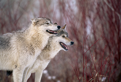 WOV 09 DB0036 01 © Kimball Stock Profile Of Two Gray Wolves Standing In Woods In Winter