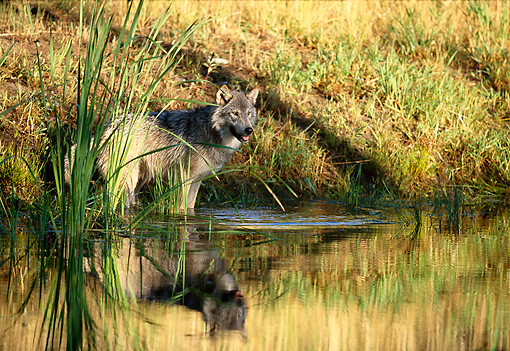 WOV 09 DB0037 01 © Kimball Stock Gray Wolf Wading At Edge Of Pond