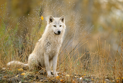 WOV 09 DB0038 01 © Kimball Stock Portrait Of Gray Wolf Sitting On Grass In Autumn