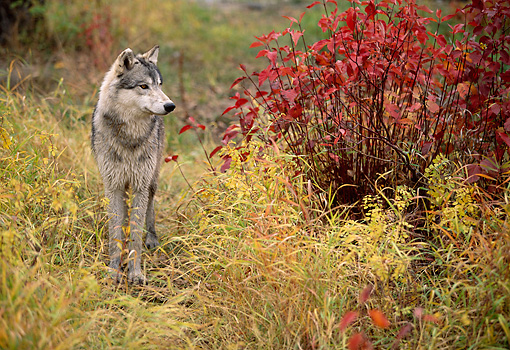 WOV 09 DB0049 01 © Kimball Stock Gray Wolf Standing In Field In Autumn