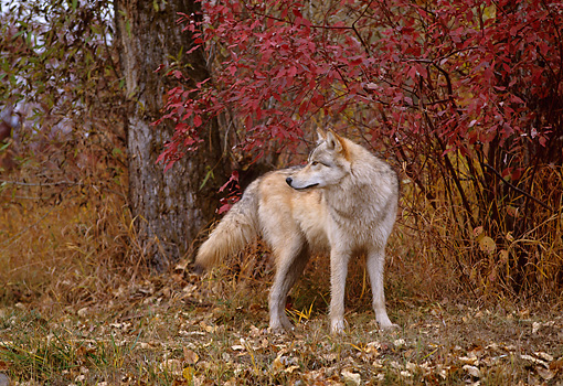 WOV 09 DB0051 01 © Kimball Stock Gray Wolf Standing At Edge Of Woods In Autumn