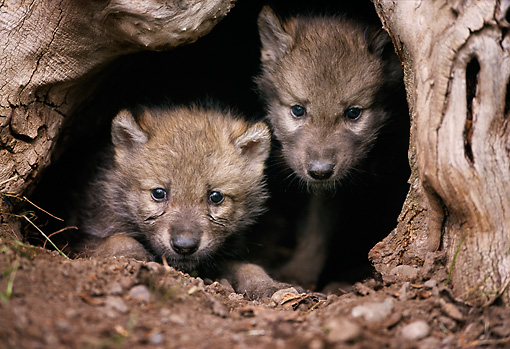 WOV 09 DB0054 01 © Kimball Stock Head Shot Of Two Gray Wolf Pups Peeking Out Of Mouth Of Den