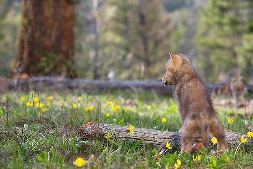 WOV 09 KH0001 01 © Kimball Stock Gray Wolf Pup Standing On Log In Forest Clearing Facing Away