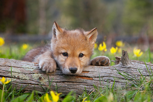 WOV 09 KH0002 01 © Kimball Stock Gray Wolf Pup Resting Head On Log In Forest Clearing