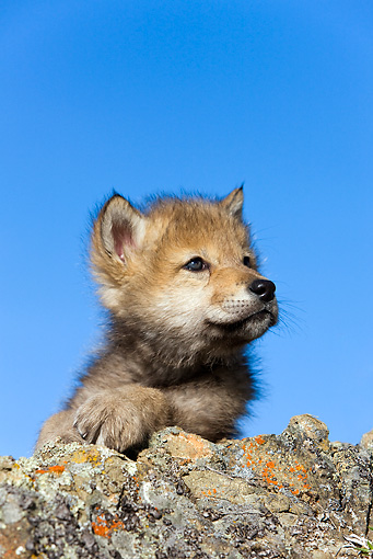 WOV 09 KH0008 01 © Kimball Stock Gray Wolf Pup Resting On Rock