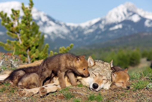 WOV 09 KH0012 01 © Kimball Stock Gray Wolf Mother And Pups Laying In Forest Clearing By Mountains