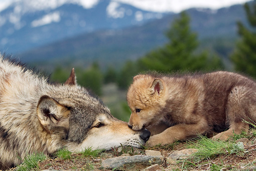 WOV 09 KH0013 01 © Kimball Stock Close-Up Of Gray Wolf Mother And Pup Laying In Forest Clearing By Mountains