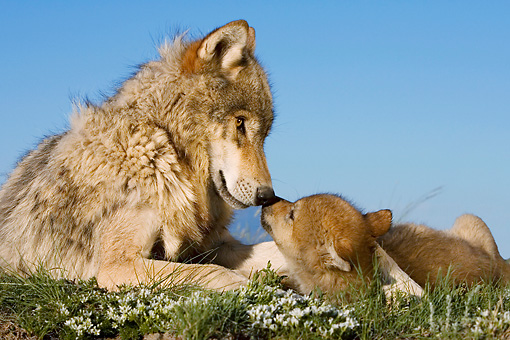 WOV 09 KH0014 01 © Kimball Stock Close-Up Of Gray Wolf Mother And Pup Laying In Field Kissing
