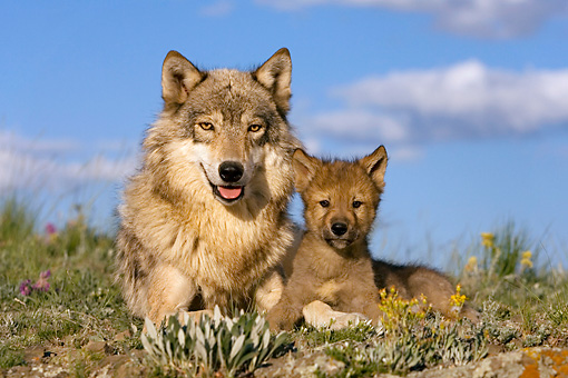 WOV 09 KH0016 01 © Kimball Stock Gray Wolf Mother And Pup Laying In Field