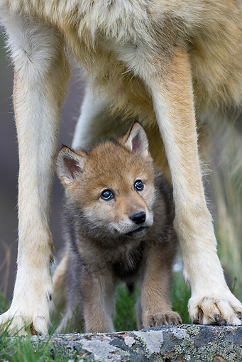 WOV 09 KH0017 01 © Kimball Stock Gray Wolf Pup Standing Under Mother
