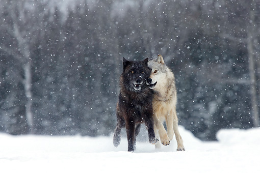 WOV 09 KH0024 01 © Kimball Stock Two Gray Wolves Running In Snow