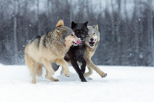 WOV 09 KH0025 01 © Kimball Stock Three Gray Wolves Running In Snow