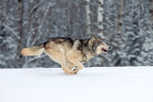 WOV 09 KH0028 01 © Kimball Stock Gray Wolf Running In Snow
