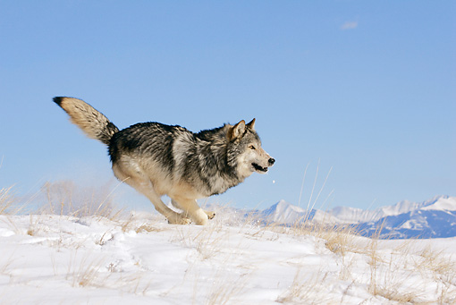 WOV 09 KH0029 01 © Kimball Stock Gray Wolf Running In Snow