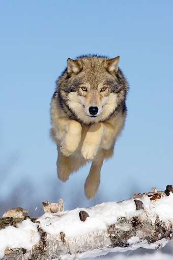 WOV 09 KH0034 01 © Kimball Stock Gray Wolf Jumping Over Fallen Tree On Snow