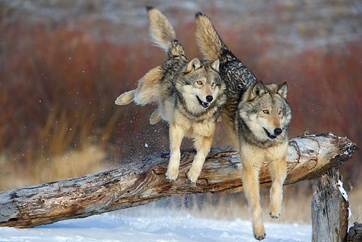 障害物を飛び越える狼