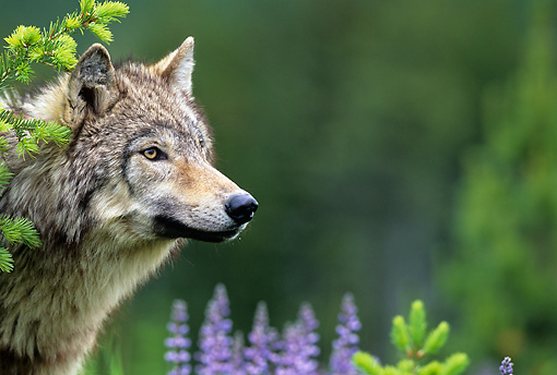 WOV 09 KH0038 01 © Kimball Stock Close-Up Of Gray Wolf Peeking From Behind Tree By Purple Wildflowers