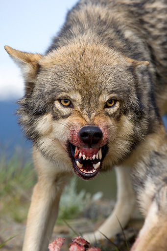 WOV 09 KH0039 01 © Kimball Stock Close-Up Of Gray Wolf Snarling
