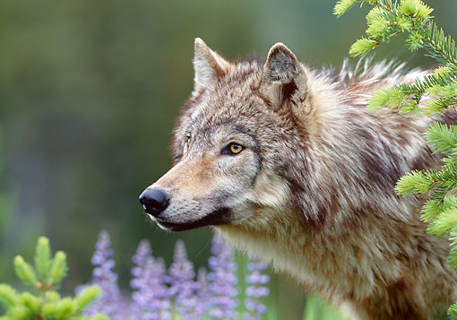 WOV 09 KH0045 01 © Kimball Stock Close-Up Of Gray Wolf Peeking From Behind Tree By Purple Wildflowers